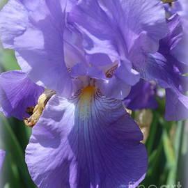 Dora Sofia Caputo Photographic Art and Design - My Blue Iris