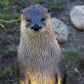 Linda Howes - My Friend the Otter