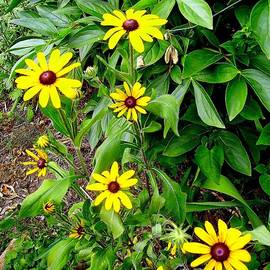 Marcia Lee Jones - My Garden Rudbeckia