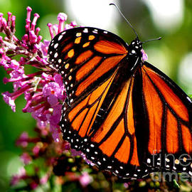 Gardening Perfection - My Monarch