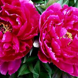 Bruce Bley - My Pretty Peonies