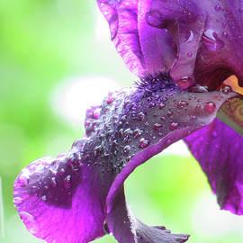 Brooks Garten Hauschild - My Rainy Day Iris - Art from the Garden