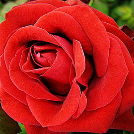 Bonita Brandt - My Red Roses