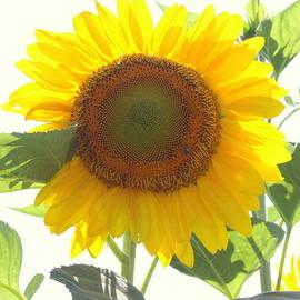 Photographic Art and Design by Dora Sofia Caputo - My Sunshine - Sunflower