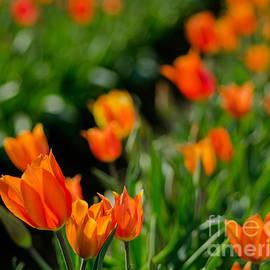 Nick  Boren - My Tulip Abstract