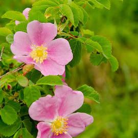 Nick  Boren - My Wild Roses