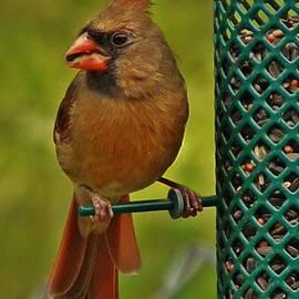Earl Williams Jr  - My Best Side Female Cardinal