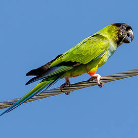 Phil Stone - Nanday Parakeet on the wire