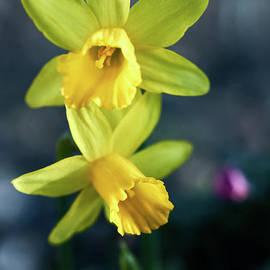 Valdis Veinbergs - Yellow Daffodil, narcissus sunset rays