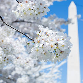 Matailong Du - National Cherry Blossom Washington Monument