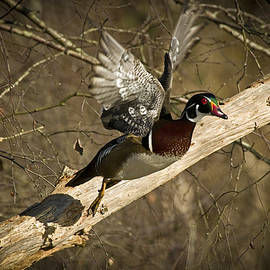 Rob Mclean  - Natures paintbrushwood duck  waterfowl aix sponsain flight
