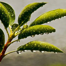 Carol F Austin - Early Morning Raindrops