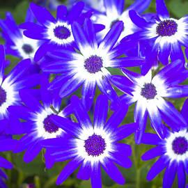 Venetia Featherstone-Witty - Neon Purple Cineraria