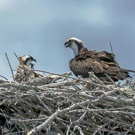 Brian Wallace - Nesting Osprey
