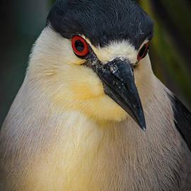 Mitch Shindelbower - Night Heron Portrait