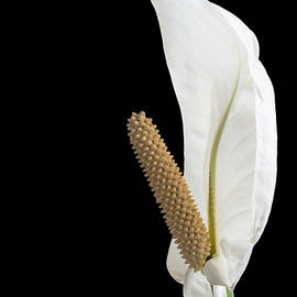 Patti Deters - Peace Lily 2