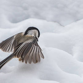 Patti Deters - Chickadee - Wings at Work