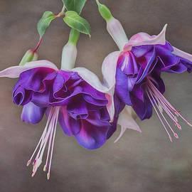 Patti Deters - Purple Fuchsia