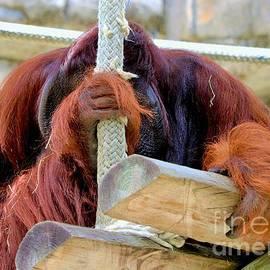 Diann Fisher - No Photos Today Please Says Orangutan