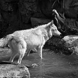 Aidan Moran - North American Grey Wolf