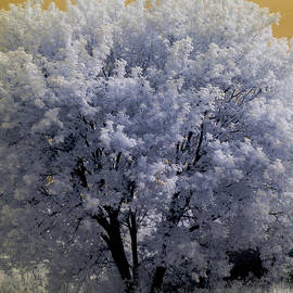 North St. Paul Tree-Infrared
