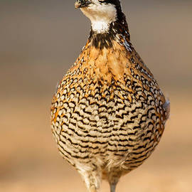 Jerry Fornarotto - Northern Bobwhite Alert