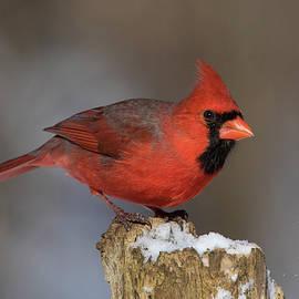 Mircea Costina Photography - Northern Cardinal in winter