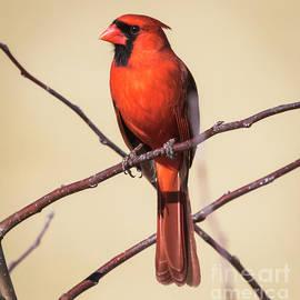 Ricky L Jones - Northern Cardinal Profile