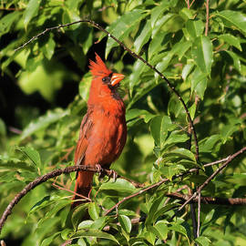 Travis D Cox - Northern Cardinal with proud looking Crown