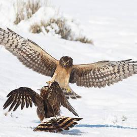 Dennis Hammer - Northern Harrier Dispute