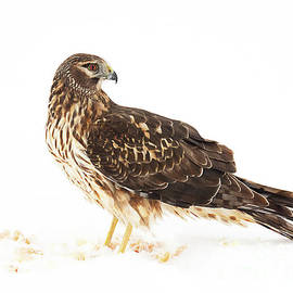 Dennis Hammer - Northern Harrier with the Last of the Prey