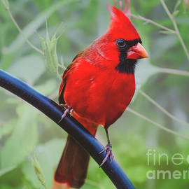 Peggy  Franz - Northern Male Red Cardinal Bird