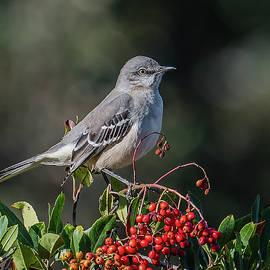 Morris Finkelstein - Northern Mockingbird On Red Berries
