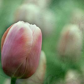 Clifford Pugliese - NYC Tulip