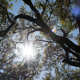 Zina Zinchik - Oak tree brunches with sunshine and lens flare