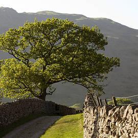 Oak Tree by a footpath at Boot Eskdale Cumbria England