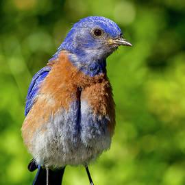Jean Noren - Obese Bluebird