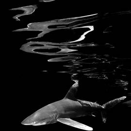 Oceanic White Tip Shark and Surface Reflections In Black and White