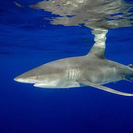 Brent Barnes - Oceanic White Tip Shark