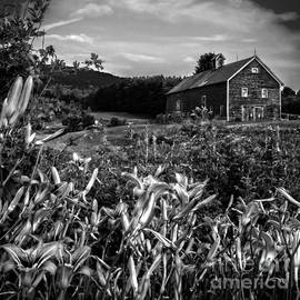 James Aiken - Old Barn and Daylilies in Vermont - BW