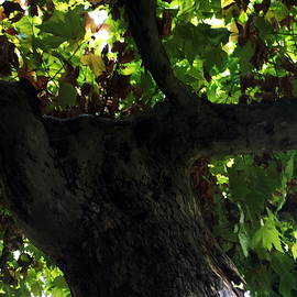 Colette V Hera  Guggenheim  - Old Beauty Tree South France