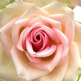 Helene Fallstrom - Old fashion rose