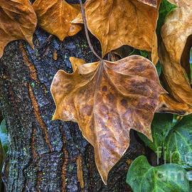 Mitch Shindelbower - Old Ivy
