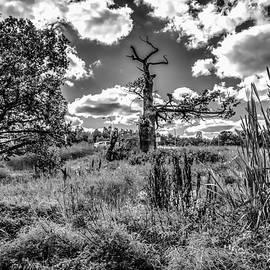 Leif Sohlman - Old oaks BW.