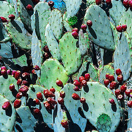 Ed  Cheremet - Opuntia with Fruit