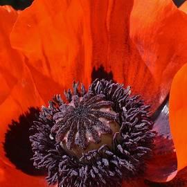 Bruce Bley - Orange Poppy 1