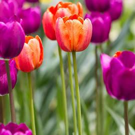 Ashley M Conger  - Orange And Purple Tulips 2