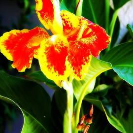 Jane Gatward - Orange and Yellow Canna Lily