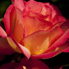 Haleh Mahbod - Orange and Yellow Rose