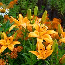 Kathryn Meyer - Orange Asiatic Lilies and Butterfly Weed